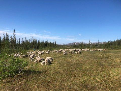 Roktdalen: Det  var i dette området ovenfor Finsåssetra i Roktdalen at man 27. juni fant to sau drept av bjørn, ytterligere en sau ble påvist drept av bjørn i det samme området dagen etterpå.