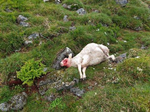 DREPT: Lammet som vart funne ved Hellingane i fjellområdet mellom Årdal og Lærdal 23. august i år er drept av jerv, stadfestar Statens Naturoppsyn. (Foto: Statens Naturoppsyn/rovviltseksjonen)