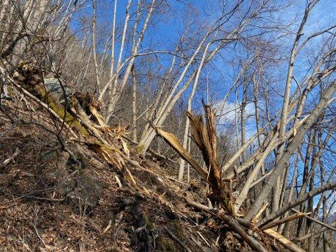 KNEKT AV: Digre tre er knekt av og ligg over stien på rundturen Mollandsmarki rundt.