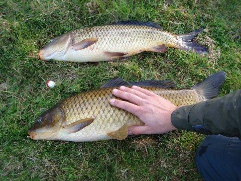 KARPE: Karpe fra Bjørheimsvatnet. Dette er en fisk som er kjent for å være svært sprek og kampvillig når den biter på kroken. Men den er også vanskelig å få til å bite på.