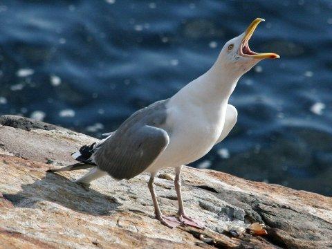 Sommerens store fiende: Denne fuglen er trolig en skremmende fugl for mange. Bylivet er perfekt for mange måker.