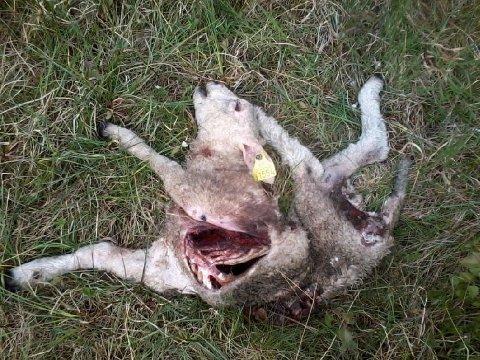DREPT: Bildet viser ett av flere lam som er funnet drept av bjørn på Nordfjellet i Beitstad