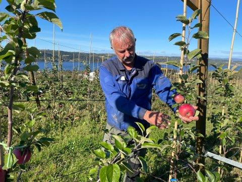 - Første året skal epletreet ha max 4 epler. Det var litt av en jobb å fjerne blomster og små knopper på alle trærne, sier Morten Gustad, som plantet 4.000 epletrær i mai.
