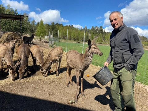 Sverre Isaksen har fått hjortene til å stole på ham. De kommer løpende når han kommer med ATV-en, da vet de nemlig at det er tid for mat.