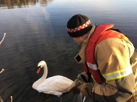 Tronn Kløcker fra Skien brannvesen og Helge Røsaker fra Viltnemda reddet svanen som hadde surret seg i et tau under Elstrømbrua tirsdag. Foto: Privat