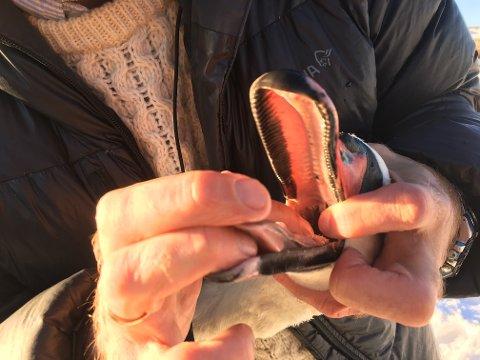 PIRK: Det var en pirkete oppgave med å få snøret ut av munnen på svanen. Eigil Movik, biolog og miljøvernrådgiver i kommune fikk til slutt dratt snøret opp av svanen.