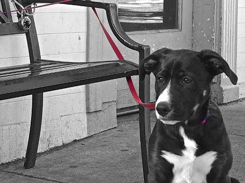 Ifølge hundeloven er det ikke lov å binde hunden rett ved inngangen til en butikk eller andre offentlige bygninger. Foto: Ella Waits