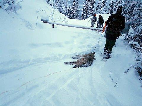 FELTE ULV: Jegere med en skutt ulv. Siden jakta startet 1. januar er 11 ulver skutt, inkludert en ulv som ble meldt skadeskutt i Osdalsreviret lørdag, melder NTB. Den skal ha blitt funnet og skutt et døgn senere.