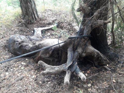 UTMAGRET: Etter lang tids kamp var elgen utmagret, og uten hjelp hadde den trolig ingen sjanse.