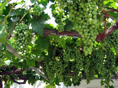 Kreta, Hellas 20040720. Vindruer,  druer. Foto: Gunnar Lier / Scanpix .
