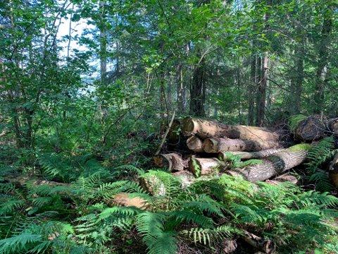 HOGST: Her er trærne kommunen mener er ulovlig hogd på Siktesøya.