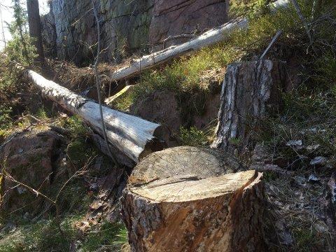 TRÆR TIL BESVÆR: Dette treet skal være ett av fire som hyttenaboene kappet. Mandag startet tvistesaken i Drammen tingrett.
