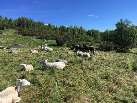 MANDAG: Sauene fra Miland har vært gjennom en uke med mange sterke inntrykk. Etter at et rovdyr angrep flokken er 14 lam så langt døde. Fortsatt er seks lam savnet. Mandag formiddag var de samlet på setra. (foto privat)