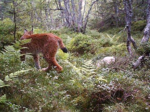 Gaupe er rovdyret som dreper flest sau og lam i Telemark. Det har Olav Brauti fått erfare, men han har også hatt besøk av ulv i høst.