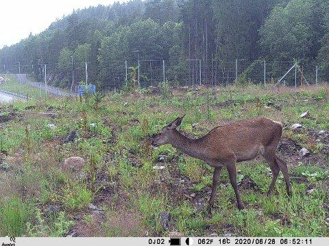 PÅ VANDRING: Da Bamble viltnemd sjekket kamerabildene fra E18, så de dette.