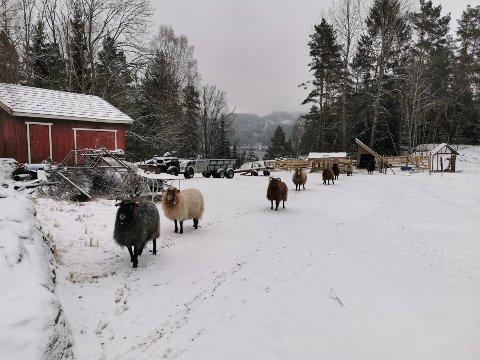TILGANG TIL VANN: Dette bildet viser at sauene har tilgang på åpen brønn, mener Bjørn Victor Slette.