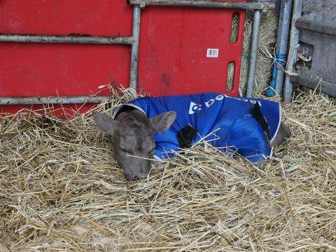 UTSTØTT: Kalven ble utstøtt fra moren.