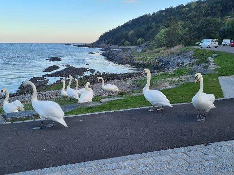 SVANER: I Furustranda i Langesund er det tidvis svært mange svaner og de rusler ofte opp der folk sitter ved benkene også.