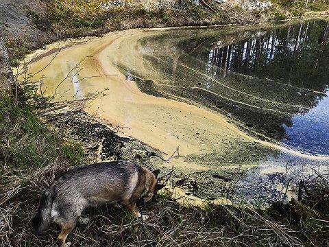På Tinnemyra er bekker og vann farget gult i disse dager. Det skyldes et uvanlig granpollenår.