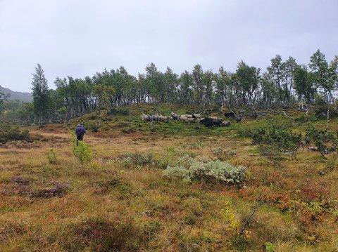 SAUESANKING: I dette området bak Skinnarbu pleier Harald Bjørnflaten og de andre sauebøndene i Mork sankelag å samle sauene sine.