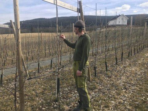 Sjekker frukttrærne: Ole Christoffer Røste konstaterer at det er betydelige skader på morellblomstene i år. Om fjorten dagers tid vil han kunne se omfanget av skadene. Men det blir ikke noe toppår. Nå er han spent på hvordan epleblomstringa blir. (Arkivfoto)