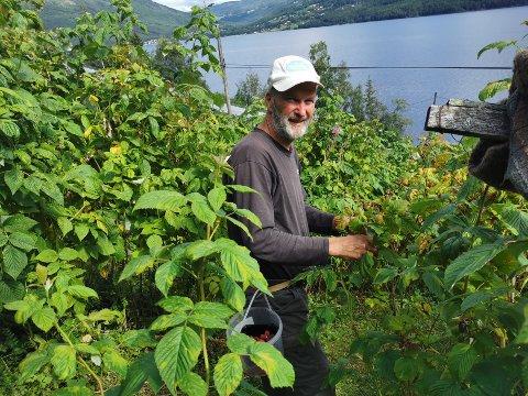 BÆRPLUKKER: Her finner man Oddvar Øvsterud til daglig om sommeren. Kilo etter kilo med bringebær plukkes til mange faste kunder.