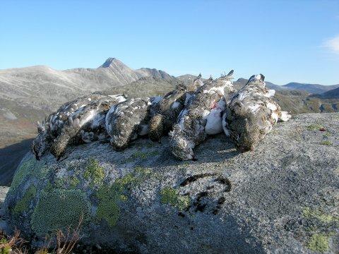 Resultatet av jakt på Gammelseterfjellet, med Neådalssnota i bakgrunnen. Foto: Erik Øien.