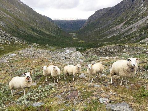 Sauebønder i fire kommuner på Nordmøre har i høst søkt om erstatning for 448 sauer og lam som de mener er tatt av fredede rovdyr. I Sunndal - hvor dette bildet er tatt - og i Surnadal regnes jerven som hovedsynderen, mens gaupa får skylda i Tingvoll og Halsa.