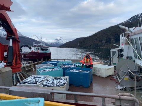 Northern Lights Salmon er ett av selskapene som leverer til slakteriet i Ibestad kommune. De har mistet store deler av produksjonen til dødsalgen, og dermed går slakteriet en uviss framtid i møte.
