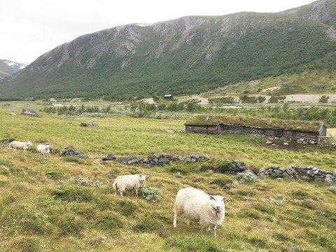 813 sauer og lam i Møre og Romsdal ble erstattet som tatt av rovdyr i fjor. Det kostet staten mellom 1,8 og 1,9 millioner kroner. Jerven får skylda for godt og vel 90 prosent av tapene. Størst tap på Nordmøre hadde sauebønder i Sunndal. Bildet er fra Grøvudalen i Sunndal.