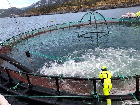 Yngelen er nå plassert ut i sjøen. Det er første gang Norcod har nådd sjøfasen i prosjektet.