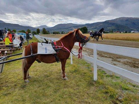 Shetlandsponnien Gulliver med startnummer 1 debuterte på travbanen lørdag.