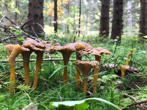 VOKSER I GRASS OG MOSE: Traktkantarellen trives godt i den myke skogbunnen i nærheten av grantrær. Er det mose eller gress, kan du være heldig å finne slike store, fine eksemplarer.