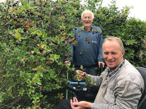 OMGITT AV SVARTSURBÆR: Heine (foran) og Håkon Hågensen i Grytingenveien 63 i Stokke vil at folk skal komme å plukke aroniabær (svartsurbær) fredag kveld.