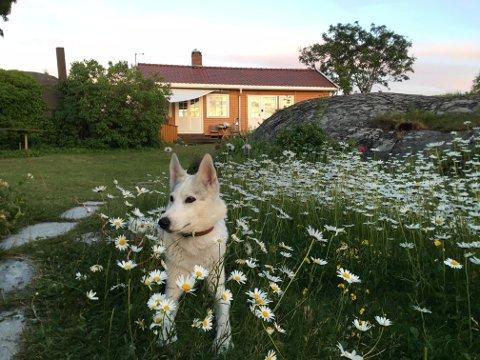 LYKKE: En Siberian Huskey kapret de to siste billettene til Foynhagen. Hunden Lykke blir dermed å se i promoteringsvideoen for Tønsberg-området i høst.