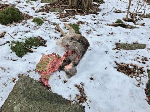 Dette kadaveret fant et par turgåere på Hvasser denne uka. Foto: Privat