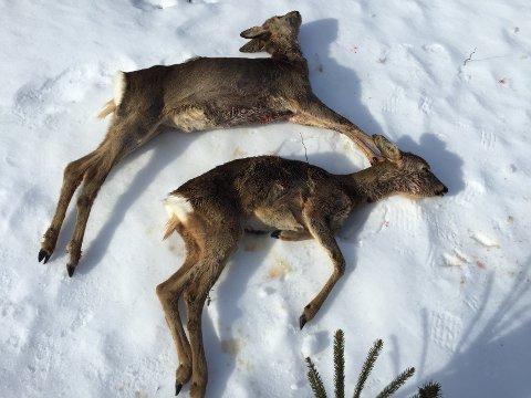 TRIST SYN: Disse to rådyrene mistet livet på grunn av matmangel og ble funnet på Adal.