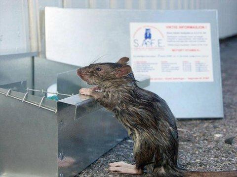 GJØR STORE SKADER: Både rotter og mus gjør store skader i Vestfold-boliger.