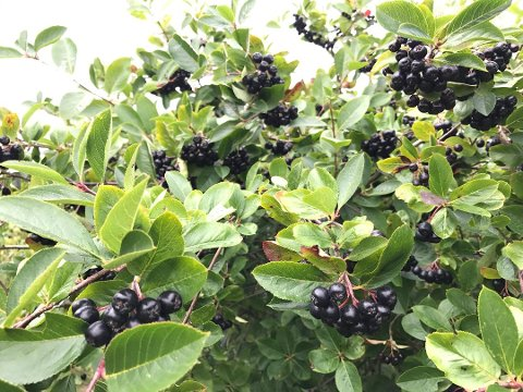 SUPER-BÆR: Aroniabær har helsebringende effekt.