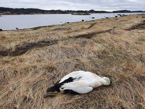 DØDE: Denne døde ærfuglen ble funnet på Vikerøya i Larvik.