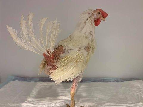 Høna ble levert med en del skader, men det skal gå bedre med den nå.
