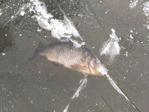 UFLAKS: Denne fisken har hatt litt uflaks, mener Aksel Hennum Mathisen.
