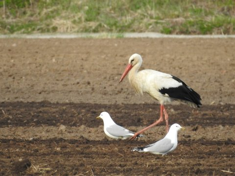 STORK: Storken er om lag én meter lang og har en svart og hvit fjærdrakt med langt, rødt nebb og lange, røde ben.