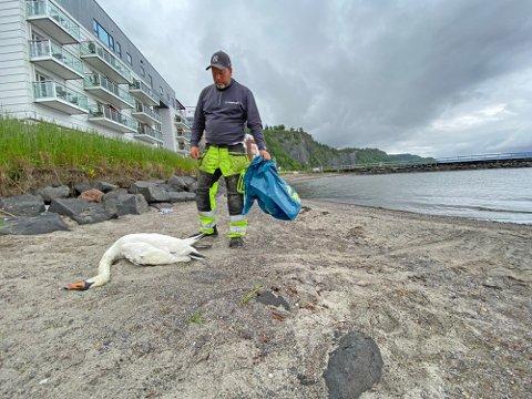 Rune Norhall fra kommunens fallviltnemd hentet den døde svanemoren mandag.