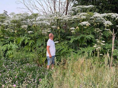 KJEMPEBJØRNEKJEKS: Steinar Sønseth passer seg godt for ikke å komme i kontakt med disse kjempeplantene langs Haslestadbekken Stokke.