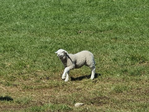SYMBOLSK: Lammet har blitt et symbol på påskens offer. Symbolsk er også erstatningssummene som gis for lam og sau tapt på beite, vil noen si.