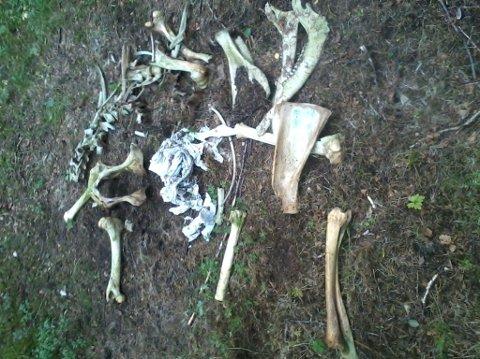 FULL AV PLAST: Elgen hadde en hardpakket ball av rundballplast i buken da den døde i Egge-skogene.