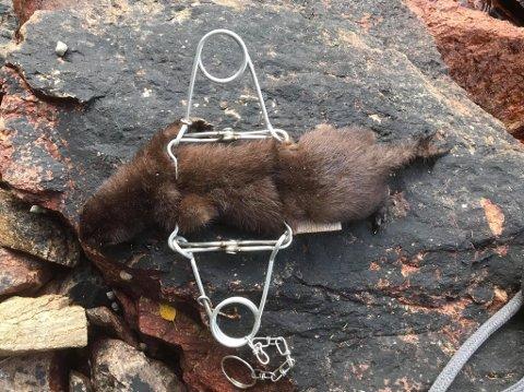 Jim Güttrup er i god gang med å fange mink i skjærgården.