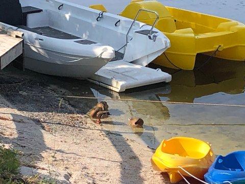 Tjenna holder godt på vannkvaliteten med endene som lever i Tjenna nå, men badeparken ønsker ikke at det skal være noen fuglerestaurant i stranda. Det kan slå ut på vannkvaliteten.