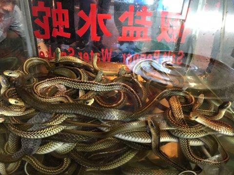FERSKE RÅVARER: Slangene, som kom fra oppdrett, lå i sitt akvarium og ventet på skjebnen.  *** Local Caption *** Valdres i Kina